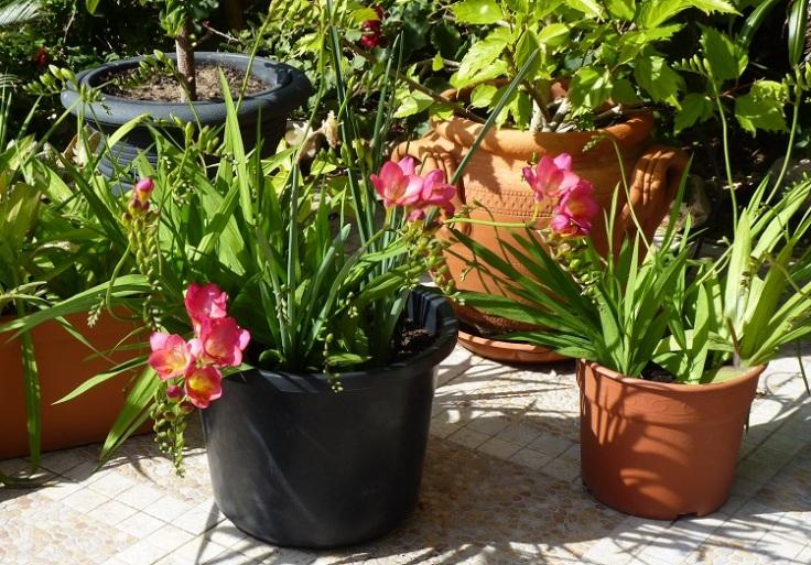 Freesias Flowering in February