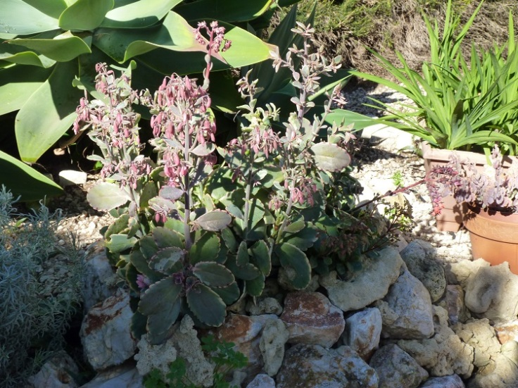 Variegated succulent with pink flowers