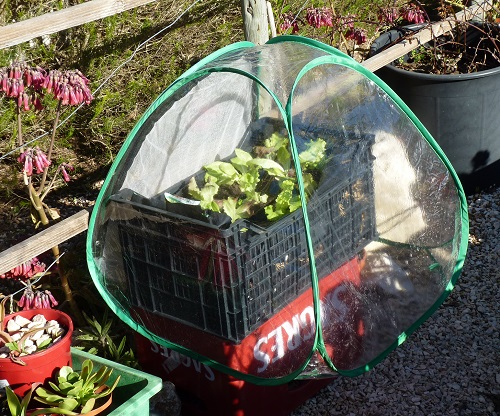 Growing lettuce in containers - Jan 2019
