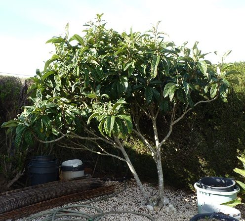 Loquat starting to fruit - Feb 2019