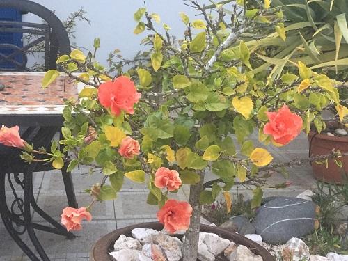 Orange hibiscus flowering in January