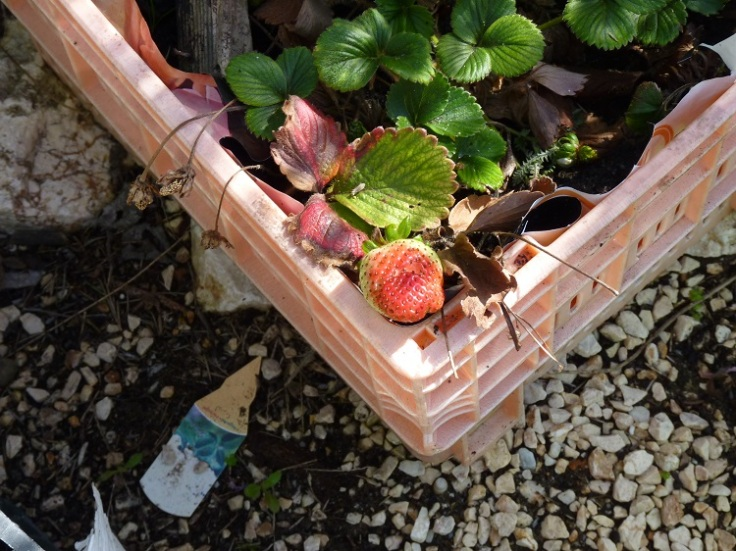 Growing strawberries in containers - Feb