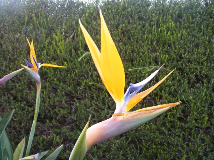Birds of paradise grow well in Portugal