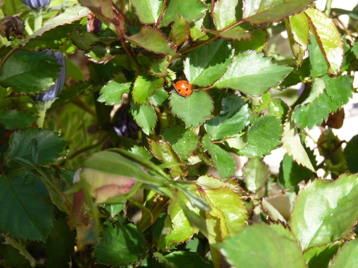 Ladybird on Rose