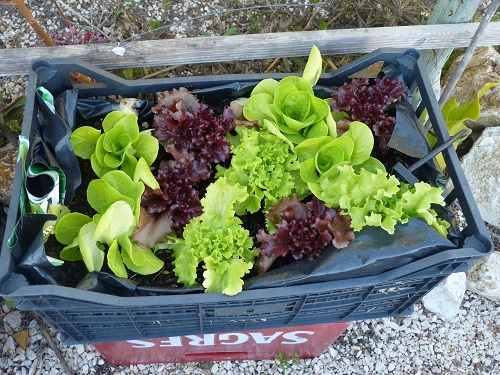 Growing lettuce in container