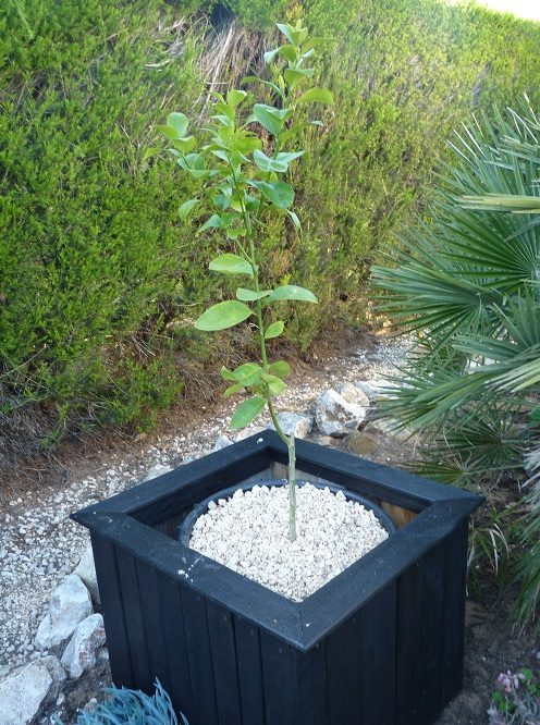 Growing a lime tree in pot
