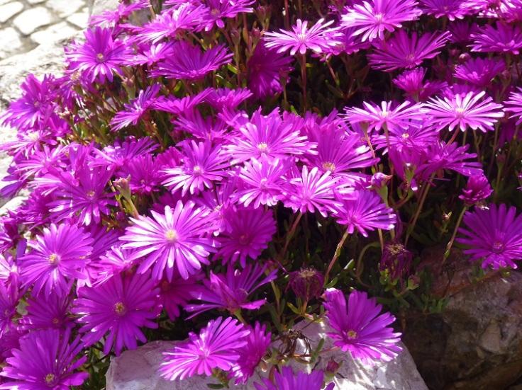 Delosperma Cooperi (Ice Plant)y