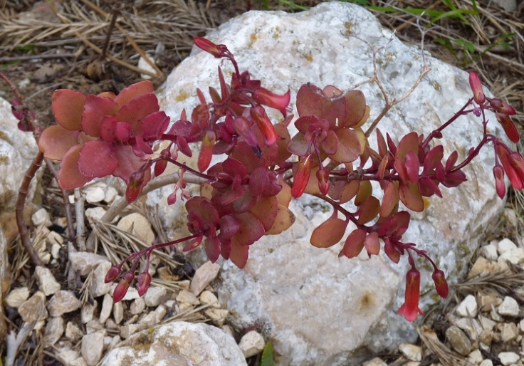red leaved succulent with red flowers