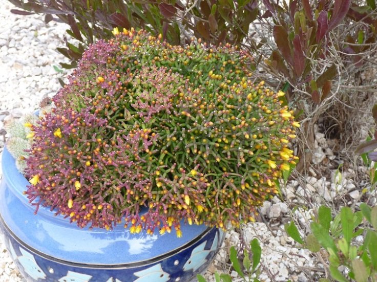 Succulent with yellow flowers