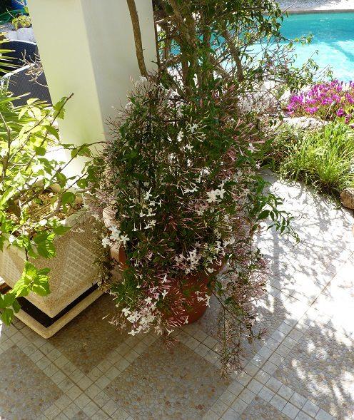 The sweet scent of Jasmine