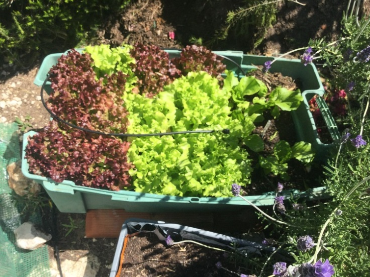 Mixed lettuce growing in a container