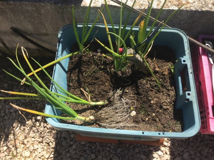 Spring onions grow well in containers