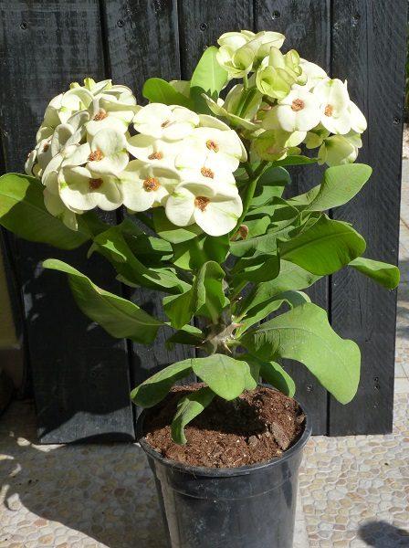 Euphorbia Siraya