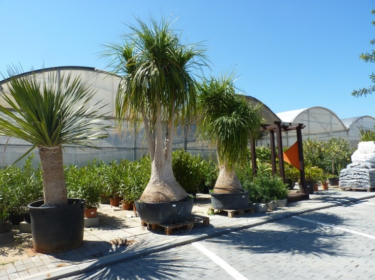 Beaucarnea or Pony Tail palm