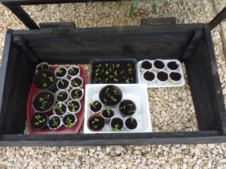 Pricking out trailing petunias