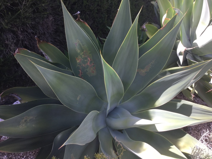 Strange markings on Agave