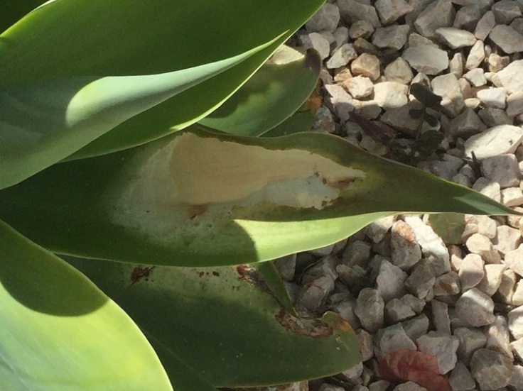 White patches on Agave leaves
