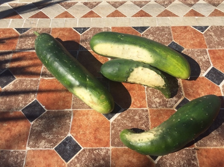 White marks on cucumbers