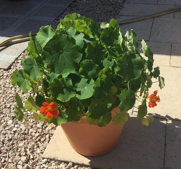 Nasturtiums grow well in pots