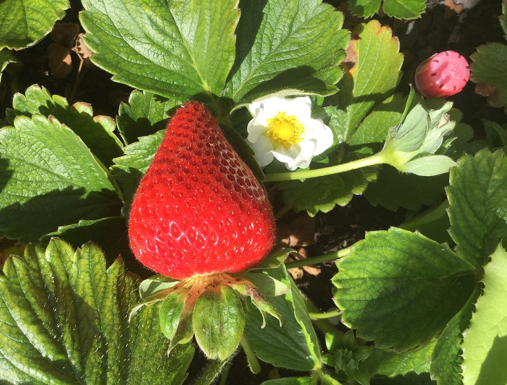 Strawberries grow well in containers