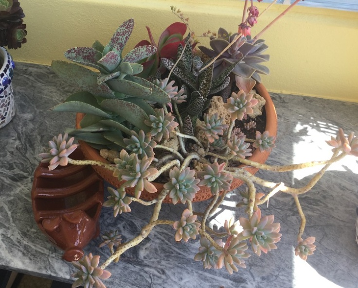 Succulent displayed s in shallow pot