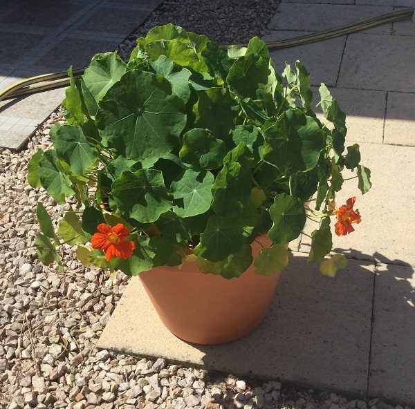 growing nasturtiums for salad
