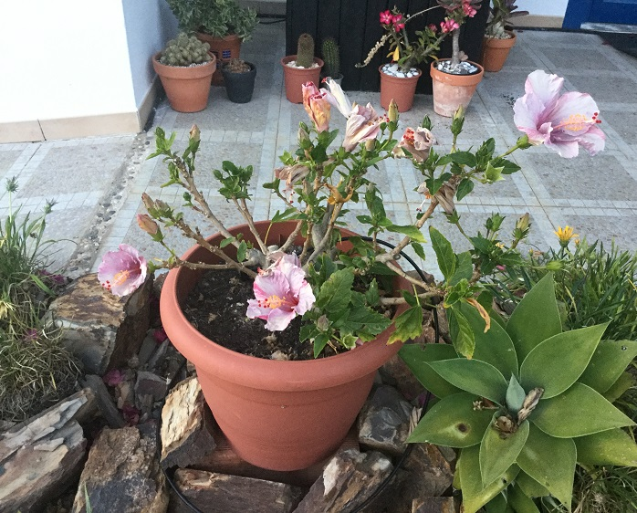 Growing hibiscus in containers