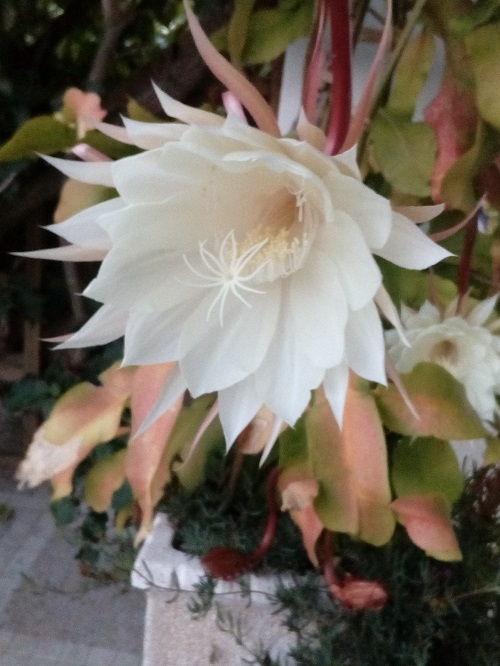 Queen of the Night - Orchid Cactus, Epiphyllum