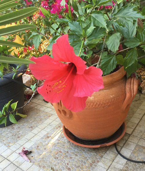 Red hibiscus growing in pot