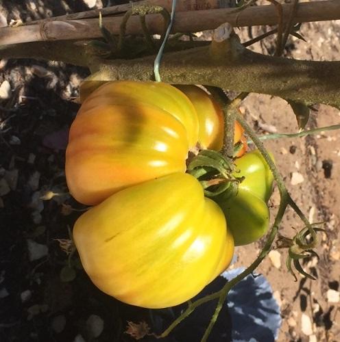 Rosa Tomato