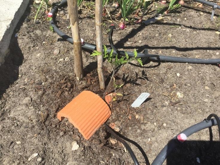 F1 Blight resistant tomato plants