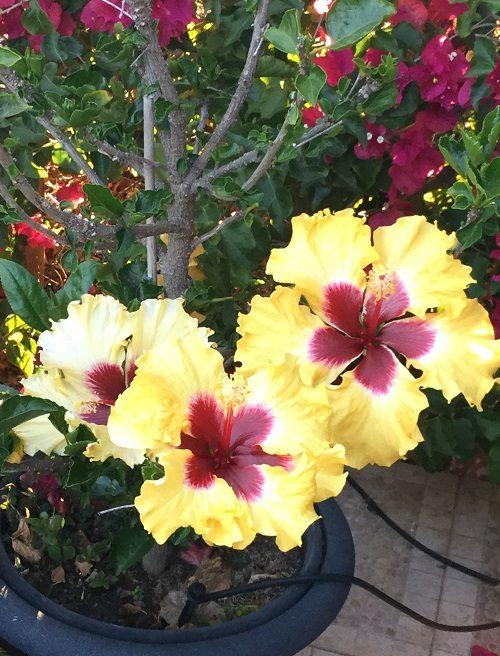 Yellow Hibiscus with red centre