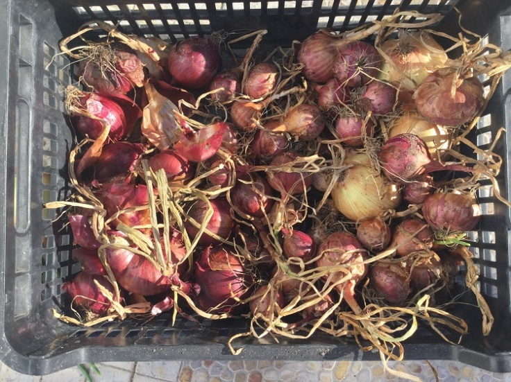 Onions drying in the sun