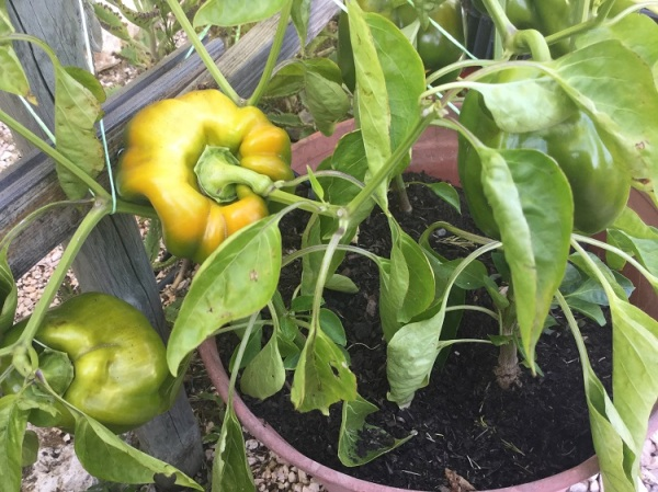 Yellow peppers growing in pot