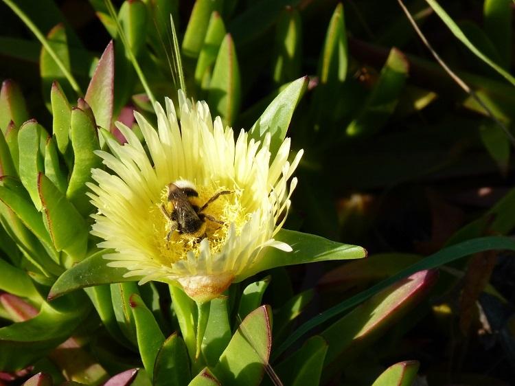 Bees like Carpobrotus Edulis flowers