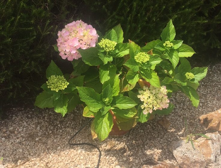 Hydrangea growing in a pot