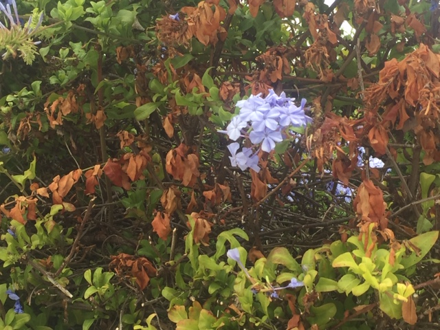 My plumbago is dying
