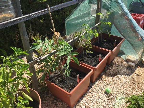Tomatoes for autumn and winter