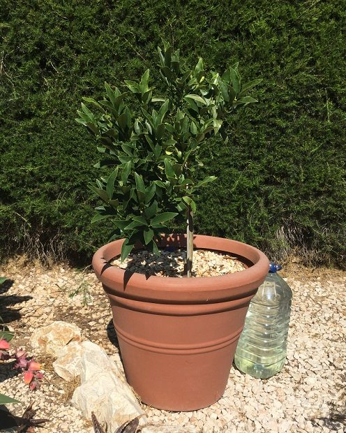Kumquat tree growing in a pot