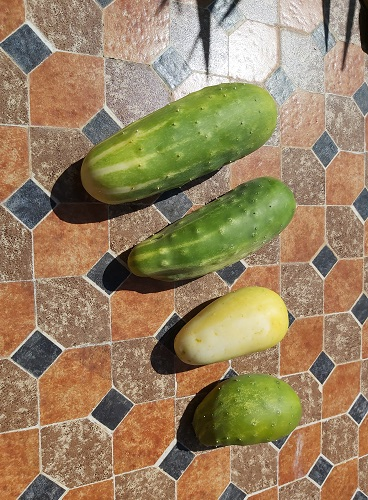 Deformed cucumbers
