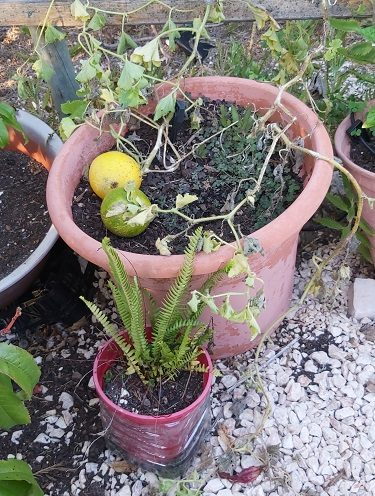 Melons growing in pots
