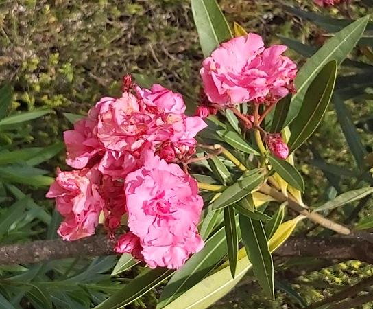 Double pink oleander flowers
