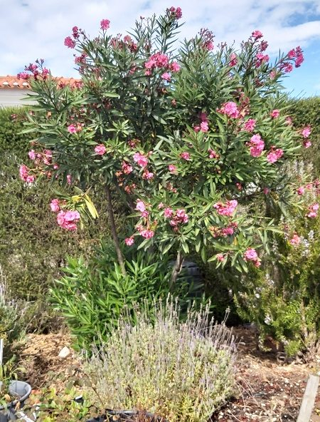 Pink Oleander in September