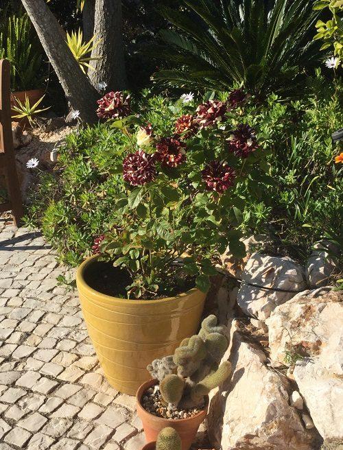 abracadabra rose flowering in Dember