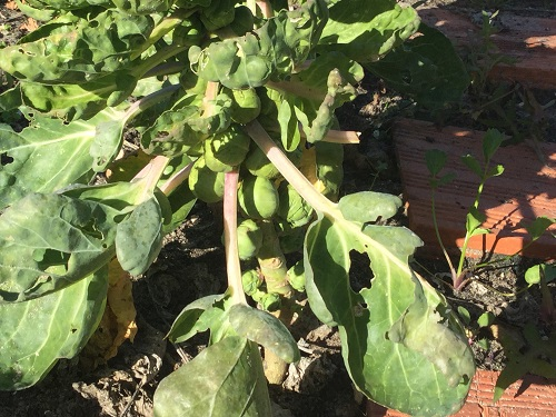 Brussel Sprouts in January