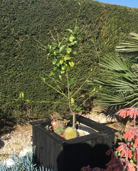 Lime tree growing in a pot