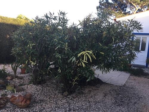 Pruning the Oleander