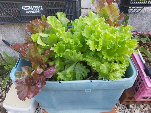 January - Lettuce grows well in containers