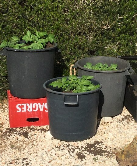 Growing potatoes in pots