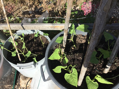 growing runner beans in pots